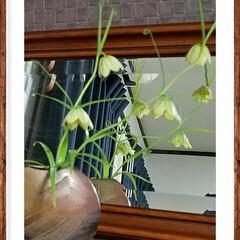 珍しい花/ライム色/花瓶/花/グリーン  珍しいお花を頂きました🎵😊🌷  ちゃー…