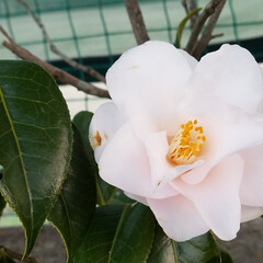 つばき/さざんか/散歩道/お出かけ/ピンク/暮らし 🐩🚶♀️お散歩に出逢った花達🌼Ⅱ  先…(9枚目)