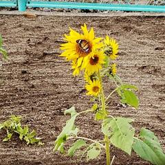 花/ひまわり/季節外れ/花と蝶/季節外れのひまわり 季節外れのひまわり🌻  ひまわり🌻 咲い…