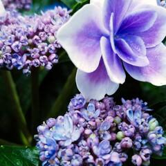 紫陽花/わんこのいる暮らし/季節インテリア/梅雨/梅雨対策/玄関あるある/... 玄関のお出迎えの華 庭の紫陽花を玄関に飾…(5枚目)