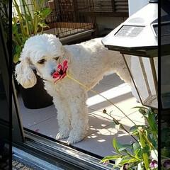 犬/チョコレート/キス/花/ガーデン/ペット/... お花に チュッ💕✨  チョコレートコスモ…