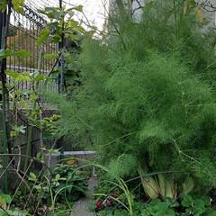 家庭菜園/ハーブ/グリーン 名前不明のハーブ🌿  たわわに生い茂って…(1枚目)