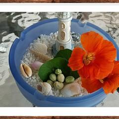 グリーン/食べれる花 テラスに咲いたナスタチュウムの花や実をを…