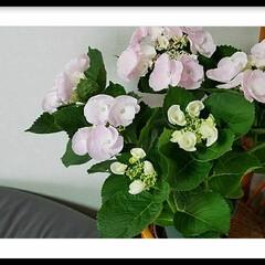 グリーン/花/紫陽花/ピンク なんとも優しい淡いピンクの紫陽花に引かれ…