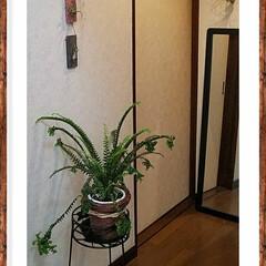 廊下/グリーン/雑貨/100均/ダイソー/インテリア 廊下にグリーンを飾りました💚  変わりシ…
