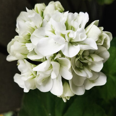 ガーデニング/ガーデン/白い花/花のある暮らし/暮らし 白い花達を集めて見ました❣️ 最後は、🍋…