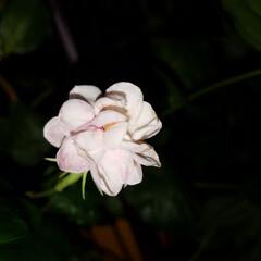 花/夜バージョン/テラス/ジャスミン/jasmine/はな/... 私の梅雨時のアイテムと言えば💠~☝ テラ…(3枚目)