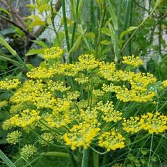 花/ガーデン/家庭菜園/ハーブ/フード/グルメ フェンネルに花が咲きましたよ❤ 二メート…