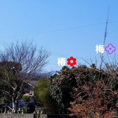 田舎の景色/桜と梅の木/花木が一辺に/景色/風景/はじめて投稿したよ!/... 先日、チラリとお話しした風景です(*^▽…