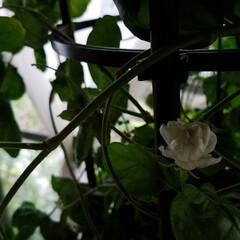 花のある暮らし/jasmine/山野草/多肉/花/テラス/... テラスのアラビアンジャスミンが、咲き始め…(2枚目)