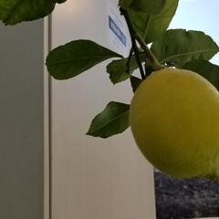 庭/育てる/植物/花のある暮らし/植物のある暮らし/檸檬/... 庭の檸檬🍋と小さな💠☝ それと家のエイ🐠…