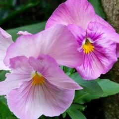 パンジー/花/庭/ガーデニング/ガーデン/おしゃれ/... まだ可愛く咲いてますヽ(*´∀`)ノ♪ …