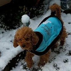 いぬ/雪景色/庭/雪/ペット/おでかけ 初めての雪かも…