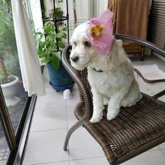 うちの子ベストショット/テラスでFlower/オシャレ/ペット/犬/犬と花 🐶テラスで、オシャレ〰❤ 女の子だから …