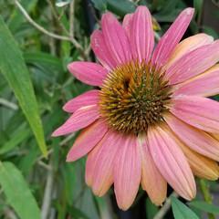 和の花/涼しげ/山野草/ガーデン/ガーデニング/庭の花/... photoとは関係ない私事ですが( *´…(8枚目)