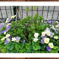 お庭/グリーン 不思議なビオラ 黄色からブルーへ変化して…