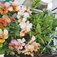 花/にわ/ガーデニング/花のある暮らし/ガーデン雑貨/ガーデニング雑貨/... まだ寒かったりですが、お庭の花達が、あち…(4枚目)