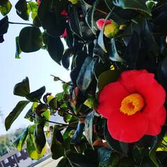 ツバキ/はな/お正月2020/おでかけ/暮らし/フォロー大歓迎/... ✨素敵な🌼椿が咲いてました🤩  🎍お正月…