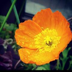 オレンジ色の花/花/庭/ガーデン/住まい ポピー