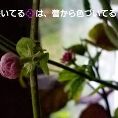 庭の花達/オリーブ/セージ/アラビアンJASMINE/くちなし/これから咲く花/... お庭の花達です🌼🎵  一枚目は、🍋の花💠…(7枚目)
