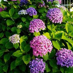 花のある暮らし/紫陽花/梅雨/おしゃれ/暮らし/梅雨対策/... 変わった紫陽花見つけました☝ なんとこの…(7枚目)