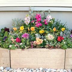 ガーデニング/寄せ植え 寄せ植え風に植えた花壇