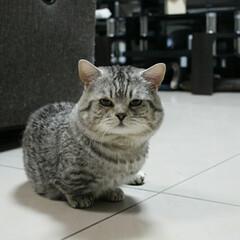 愛猫/マンチカン/猫/ペット うちの愛猫 ことらちゃん♥ マンチカンの…