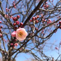 梅の花/花見/梅/フォロー大歓迎/おでかけ/風景 そういえば、週末に母と梅の花を観に行きま…