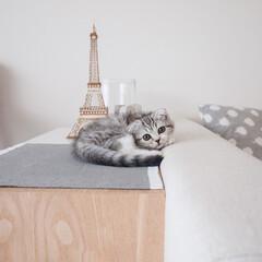 うちの子自慢/スコティッシュ/猫/子猫/猫との暮らし わが家の愛猫ぐう。シェルフの上が最近のお…