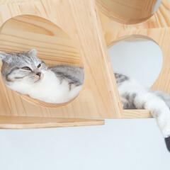 猫/猫との生活/猫のいる暮らし/スコティッシュ 新たに設置した六角ハウスのなかでまったり…