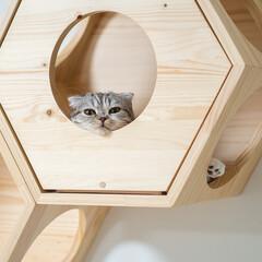 猫/猫のいる生活/スコティッシュ/猫と暮らす キャットハウスから顔だけ出してぼんやりす…