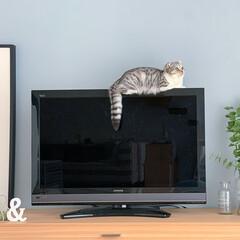 猫/猫のいる生活/猫と暮らす/スコティッシュ 最近テレビの上に乗るのがマイブームになっ…