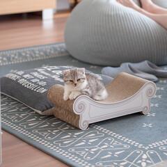 うちの子ベストショット/猫/スコティッシュ/子猫/爪とぎ/寝顔 爪とぎベッド「かりカリーナ」でまったりす…