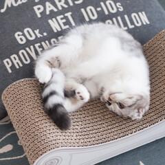 猫派/猫との暮らし/猫と暮らす/猫のいる生活/スコティッシュフォールド お気に入りの爪とぎスツールの上でゴロゴロ…