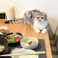 猫/スコティッシュ/猫との暮らし/猫のいる生活 食事中のぐう。テーブルに乗ってはいるけど…