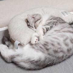 雨季ウキフォト投稿キャンペーン/猫/子猫/スコティッシュ/猫との暮らし/ねこ ケリケリピローを枕に熟睡するぐう。気持ち…