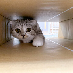 猫/スコティッシュ/猫との暮らし/猫のいる生活 猫はダンボールが好きですが。トンネルも好…