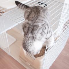 うちの子ベストショット/猫/スコティッシュ/猫との暮らし/猫との生活/猫と暮らす 猫って下を覗く習性があるんですかね?机の…(1枚目)