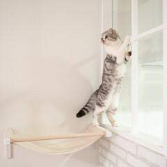 猫/猫との暮らし/猫との生活/猫のいる暮らし/スコティッシュ 新しく取り付けたニャンモックに乗って、部…