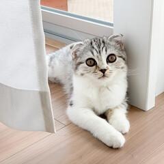 雨季ウキフォト投稿キャンペーン/猫/スコティッシュ/子猫/猫と暮らす 窓辺で寝そべる愛猫ぐう。名前を呼ぶとカメ…