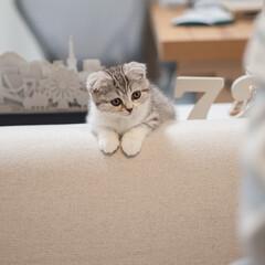 うちの子ベストショット/猫/子猫/スコティッシュ/猫との生活 人間が食事中。じっと待機してる猫のぐう。…