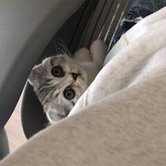 うちの子ベストショット/猫/子猫/スコティッシュ 膝の上に乗ってきたぐうを撫で回してたら嫌…