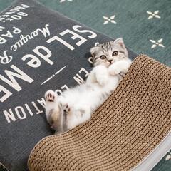 うちの子ベストショット/猫/子猫/スコティッシュ/猫との暮らし 爪とぎもベッドになるし、クッションの上で…