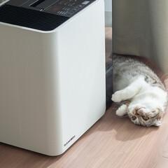 猫/猫のいる暮らし/猫との生活/スコティッシュ 新しく買った加湿器にやたら寄り添う愛猫ぐ…