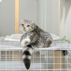 猫/スコティッシュ/猫のいる生活/猫と暮らす ぺたんと平たくなって寝てた愛猫ぐうのお尻…