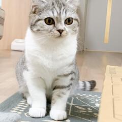猫/猫との暮らし/猫のいる生活/スコティッシュ 可愛い顔してたのにカメラを向けたらこの表…