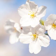 春の一枚/桜/花見/お花見 桜満開♪ お花見さんぽへ出掛けて撮った一…