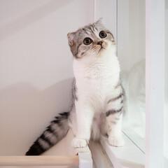 猫/猫と暮らす/猫との生活/スコティッシュ 先日取り付けたニャンモックが高すぎた様で…