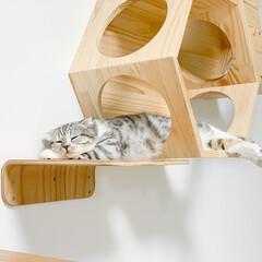 猫/猫との暮らし/スコティッシュ/猫のいる生活 キャットウォークのステップとハウス両方使…
