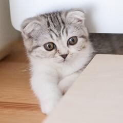うちの子自慢/スコティッシュ/猫/子猫/猫との暮らし 相変わらず、私がパソコンに向かうとデスク…